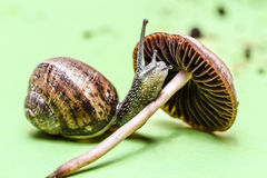 Snail. Climb on a mushroom Royalty Free Stock Photography