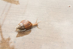 Snail. Climb on a paved road with water Stock Photography