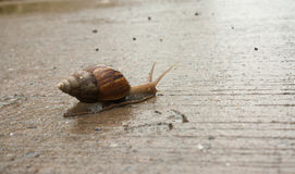 Snail. Climb on a paved road with water. Life slower pace of a Royalty Free Stock Photography