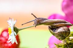 Snail. Climb on white flower Stock Photos