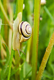 Snail climbing down Stock Images