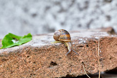 Snail climbing down a brick Royalty Free Stock Images