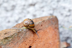 Snail climbing down a brick Stock Photos