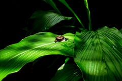 Snail climbing on green leaf with black tone background concept Royalty Free Stock Photography