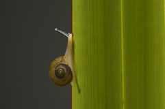 Snail climbing a leaf. Stock Photos