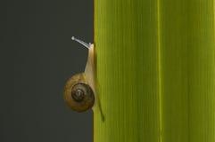 Snail climbing a leaf. Stock Photos