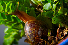 Snail climbing a leaf Royalty Free Stock Photography