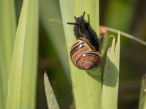 Snail climbing a leaf Stock Image