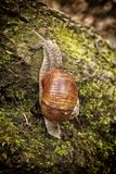 Snail climbing over the moss on the tree trunk Stock Photos