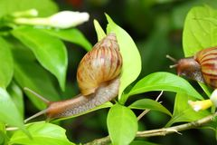 Snail is climbing on the tree Royalty Free Stock Image