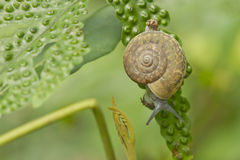 Snail is climbing on the tree Royalty Free Stock Images