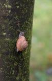 Snail climbing on a tree in the rain Royalty Free Stock Photos