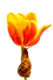 Snail Climbing Tulip. A snail climbing up a tulip. Picture is dreamy/soft focus Stock Photos