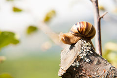Snail climbs to the top of the branches Royalty Free Stock Photos