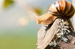 Snail climbs to the top of the branches Royalty Free Stock Photography