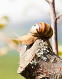 Snail climbs to the top of the branches Royalty Free Stock Image