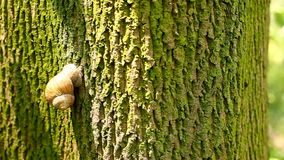 Snail climbs a tree stock video footage