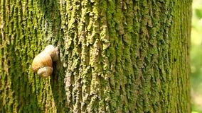 Snail climbs a tree stock video footage