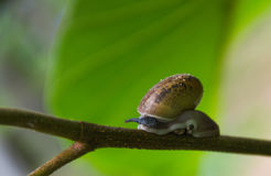 Snail climbs are on the twig. Snail climbs are on the twig nature background Royalty Free Stock Image
