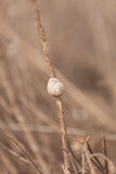 A snail climbs up a dry reed in a marsh Stock Images