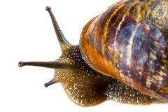 Snail close up Stock Photography