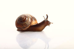Snail close up Stock Photo