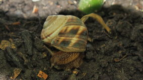 Snail close up. Beautiful snail close-up for backgrounds and textures Royalty Free Stock Photo