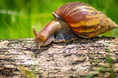 Curious snail crawling on concrete. Helix. Roman snail. - Image. Snail. Close-up Snail. Curious snail crawling on concrete. Helix. Roman snail. - Image stock photo