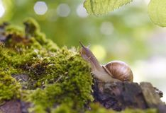 snail close-up green moss sunlight bokeh background royalty free stock image