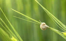 Snail close-up. Snail  on green wheat Stock Photo