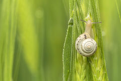 Snail close-up on green wheat. And dew drops,Blurry background Stock Image