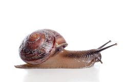 Snail close-up, macro. Royalty Free Stock Photo