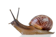 Snail close-up, macro. Stock Images