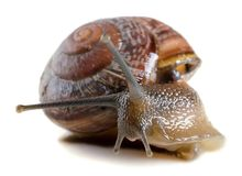 Snail close-up, macro. Stock Photo