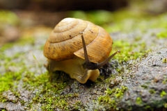 Snail close up Royalty Free Stock Photography