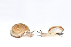 Snail Royalty Free Stock Image