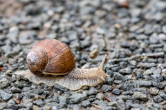 Snail. Close up of a very slow snail on gravel Royalty Free Stock Photo