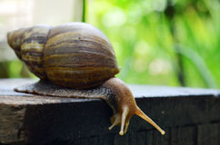 Snail close-up view sliding on the wooden plate (Selective focus) Royalty Free Stock Photos