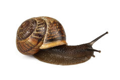 Snail close up Stock Images