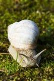 Snail closeup. Closeup of a snail on green moss stock image