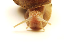 Snail closeup Stock Photography