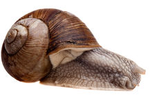 Snail closeup Stock Images