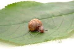 Snail. Closeup of a big snail on a green leaf backgroun Stock Photo