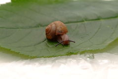 Snail. Closeup of a big snail on a green leaf backgroun Royalty Free Stock Images