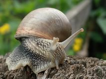 Snail closeup. Close up of a snail  in the garden Royalty Free Stock Images