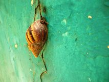 Snail closeup Royalty Free Stock Photo