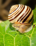 Snail. Closeup of a snail on a leaf Royalty Free Stock Photography