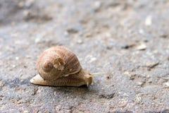 Snail closeup Royalty Free Stock Photography