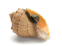 Snail and a cockleshell Royalty Free Stock Image