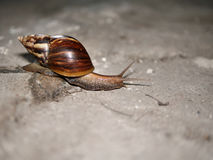 Snail. Is a common name that is applied most often to land s, terrestrial pulmonate gastropod molluscs Stock Image